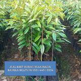 Profile for durianmusangking banten