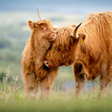Profile for Highland Cattle Society