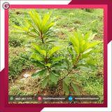 Profile for +62 823–2951–7771 | Jual Bibit Pohon Buah Langka