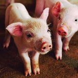 Profile for Kansas Pork Association