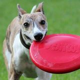 Profile for Go-Bye whippet kennel