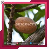 Profile for +62 823–2951–7771 | Supplier Bibit Mamey Sapote