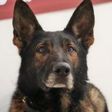 Profile for Trained German Shepherd For Sale